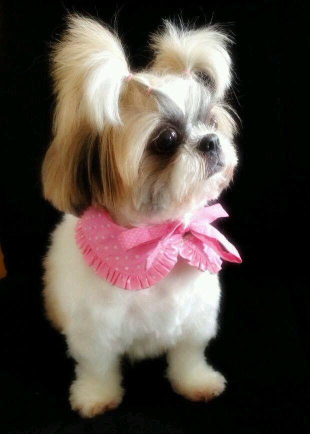 Pin By Virginia Cahill On Dogs Shih Tzu Shih Tzu Dog Shih Tzu Puppy