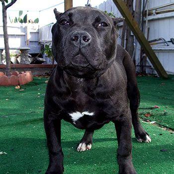 black pitbulls | ... PitBull Kennels - Blue American PitBull.