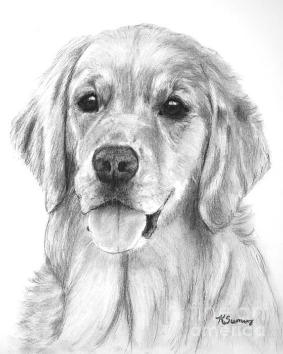 Golden Retriever Drawing Golden Retriever Art Golden Retriever