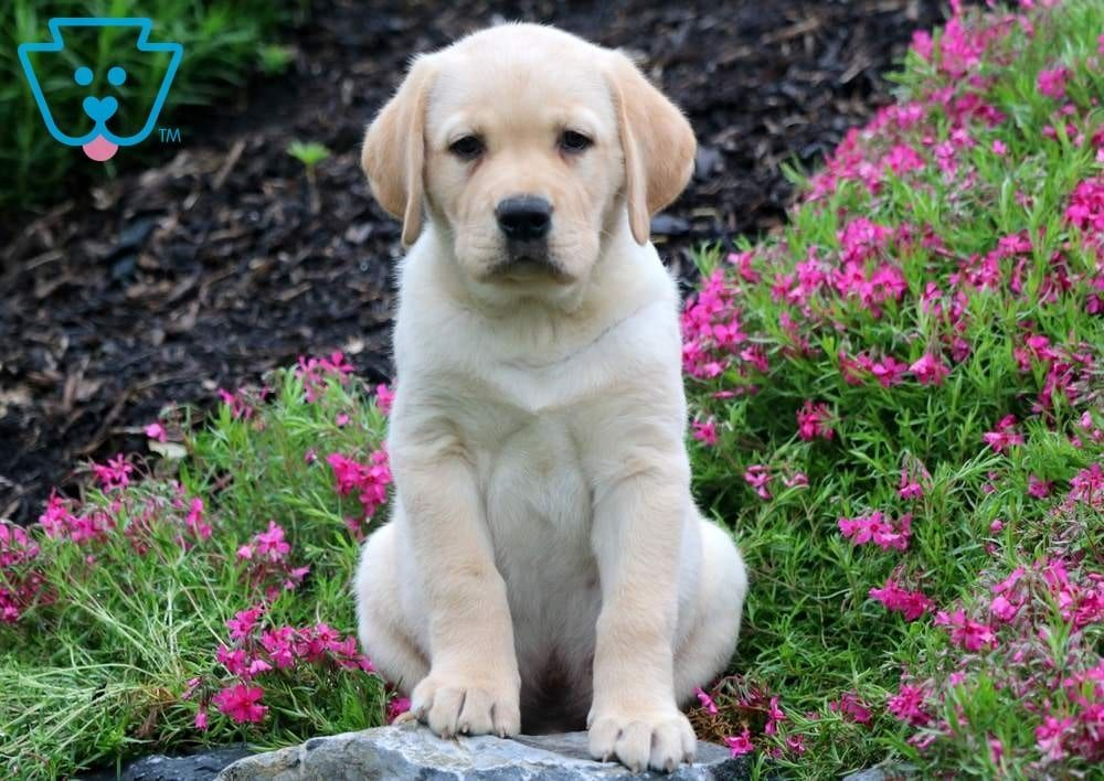 Dapper Labrador Retriever Yellow Puppy For Sale Keystone Puppies Yellowlab Keystonepup Labrador Retriever Yellow Lab Puppies Yellow Labrador Retriever