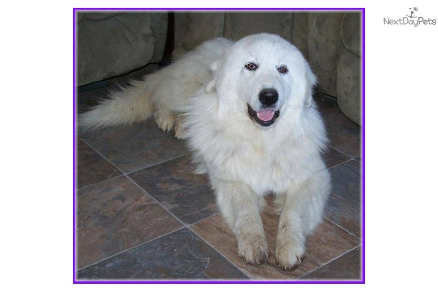 Great Pryness Dog Photo Cute Great Pyrenees Puppy For Sale For 300 Golden Pyrenees Puppy Pyrenees Puppies Great Pyrenees Puppy Great Pyrenees