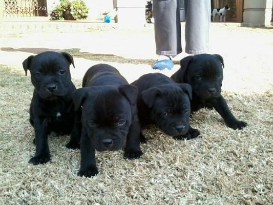 Ads Dogs And Puppies Registered Staffie Pups For Sale