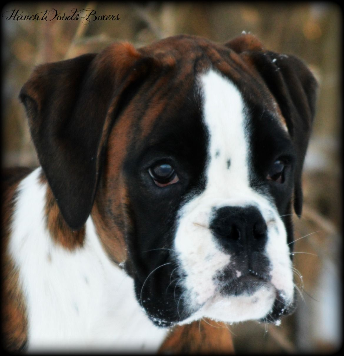 Havenwoods Boxers Top Quality Akc German And American Boxers Based In Central Ohio Show Quality Working German Boxers Health Boxer Welpe Brindle Boxer Hunde