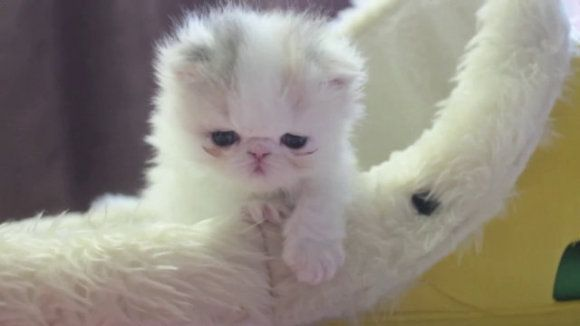 Meet Marshmallow Japans SuperCute Preemie Kitten Marshmallow - Meet the ridiculously fluffy kitty thats more cloud than cat