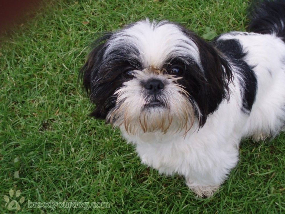 Image result for shih tzu black and white shih tzu dog
