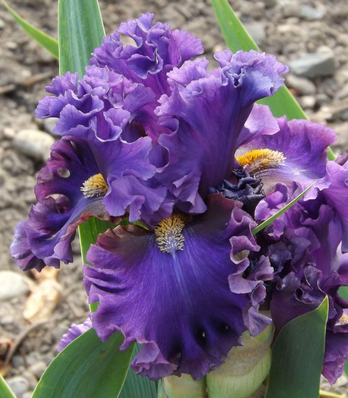 Pagan Knight Iris flowers, Iris garden, Beautiful flowers