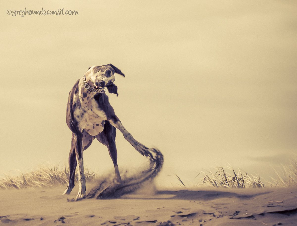 Pin by Dianne Walters on Greyhound . . . Sighthound (With ...