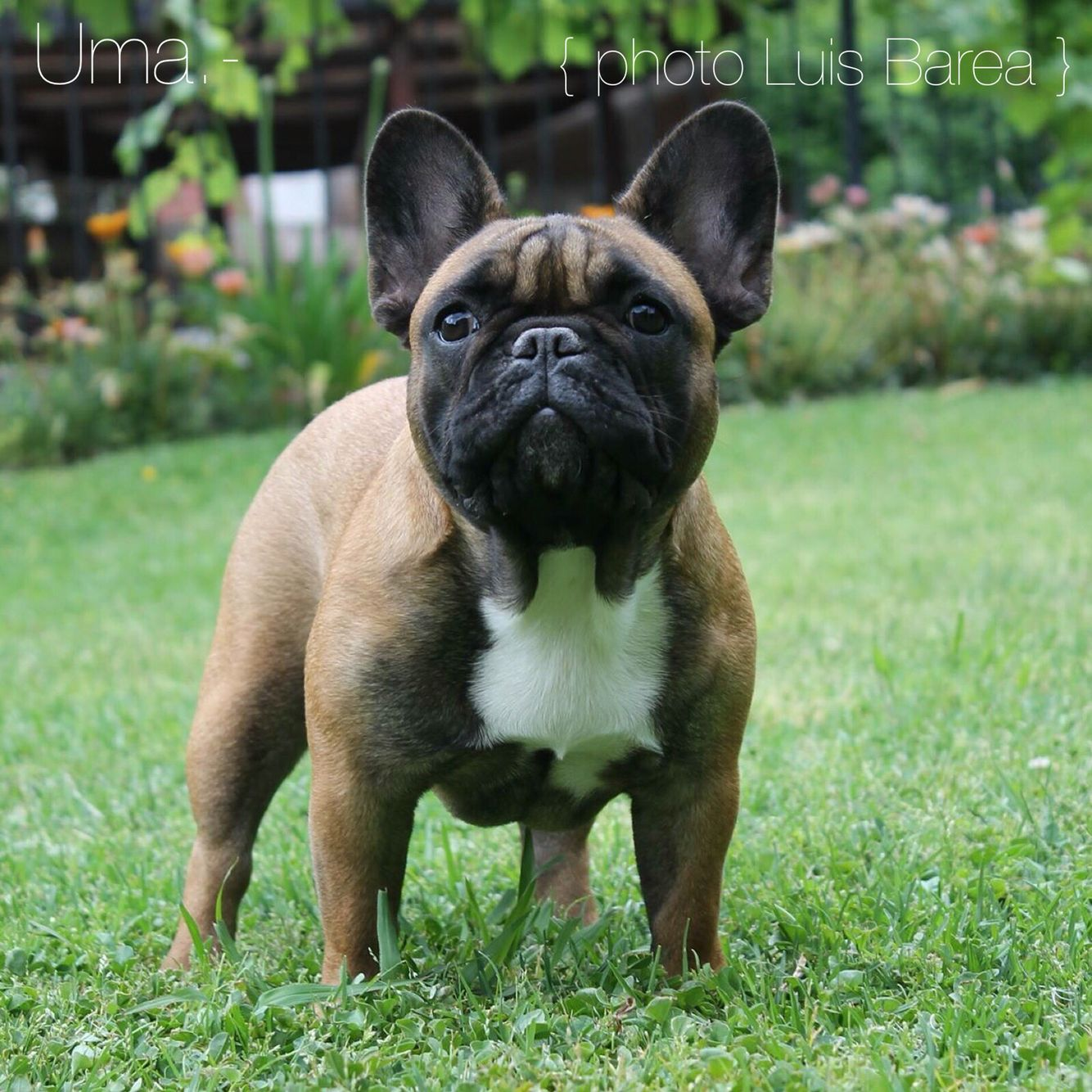 French Bulldog Brindle Boxer Bulldog Cute French Bulldog
