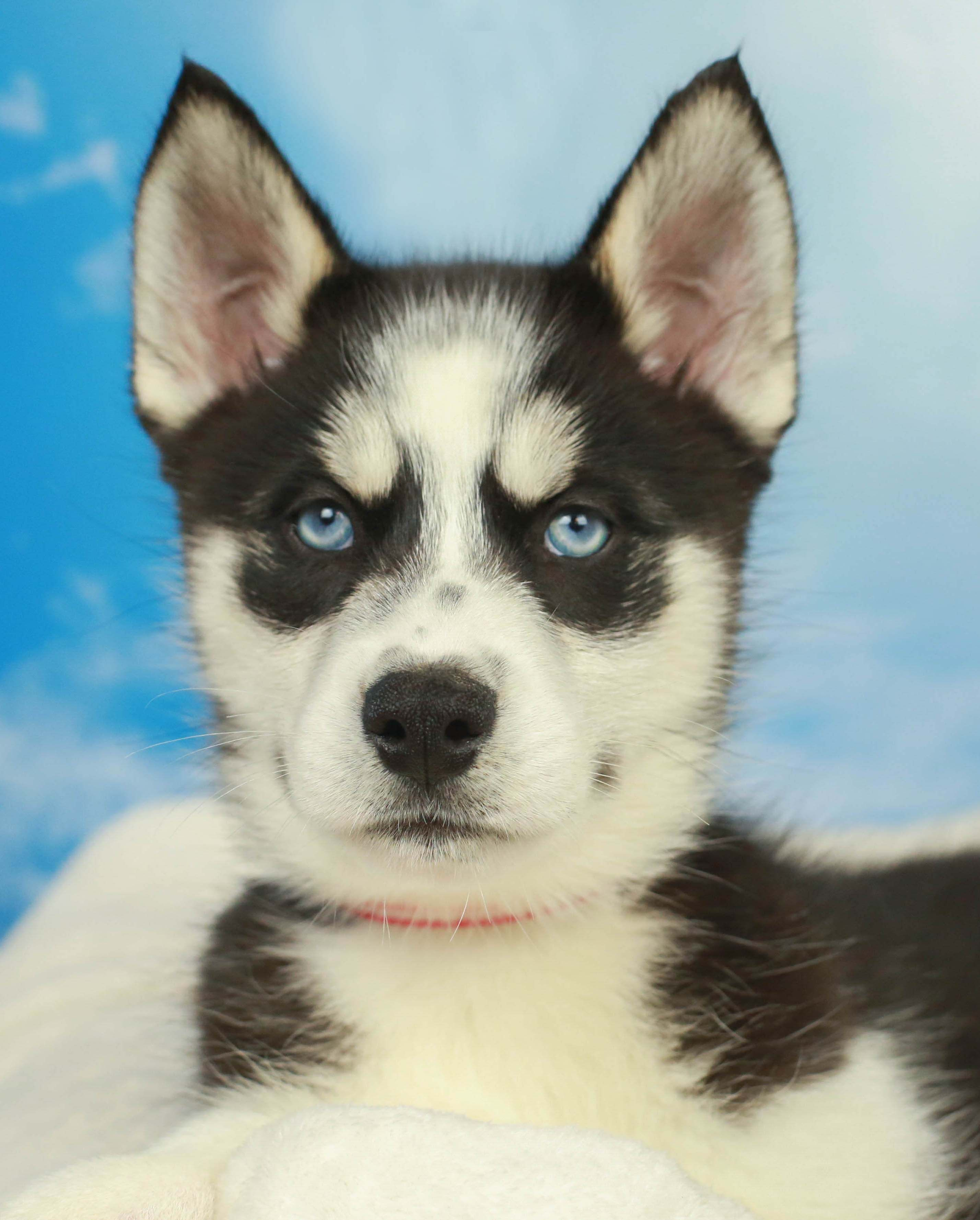 There Is Nothing Quite As Striking As The Face Of A Siberian Husky