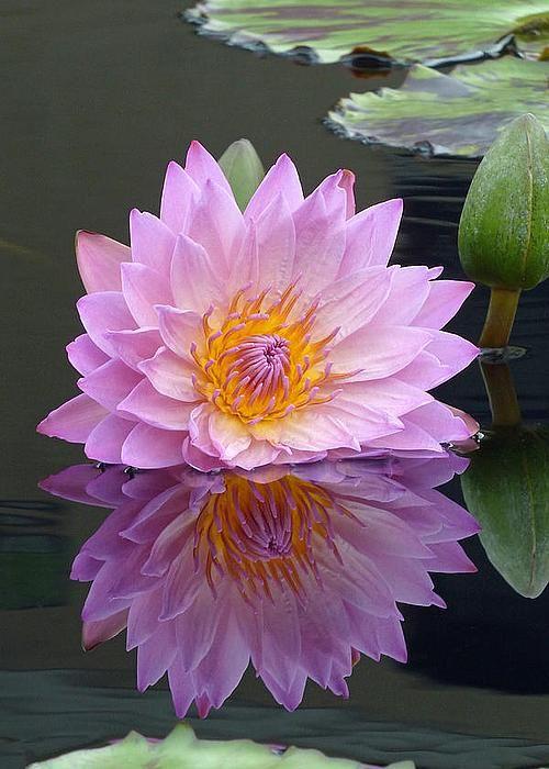 Water Lily By Cindy Mcdaniel Felicitări Prințese
