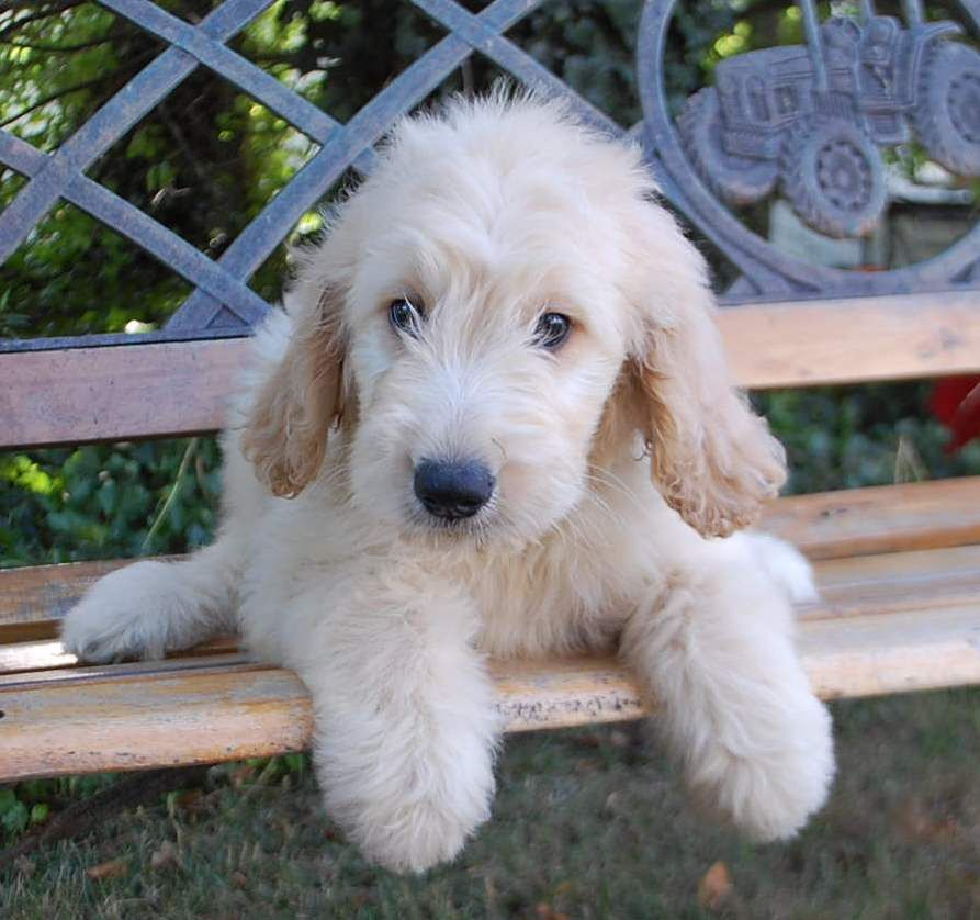 Goldendoodle puppies for sale cuddly animals