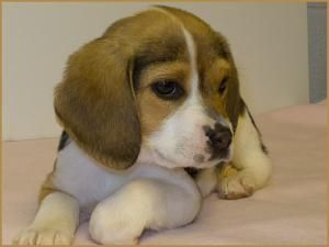 Adopt Mandy On Beagle Puppy Beagle Dog Puppies
