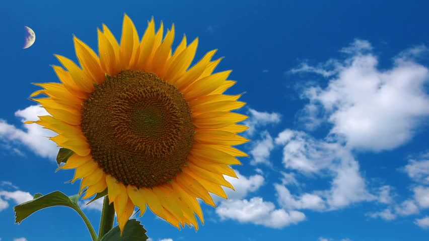 Flowering Sunflower On a Background Stock Footage Video ...