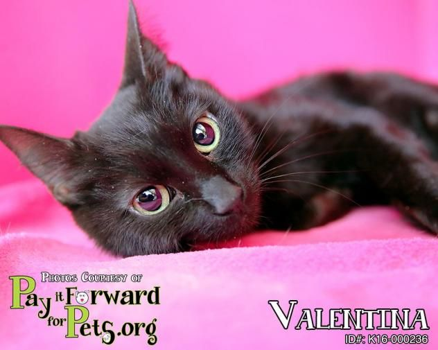 Adopt Valentina On Cat Adoption Animal Control Animals