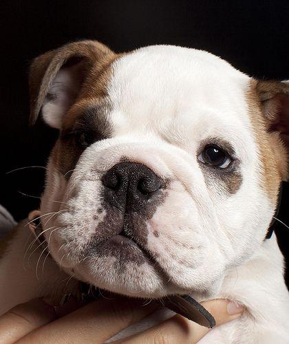 That S A Cute Face Mini English Bulldogs Animals Beautiful