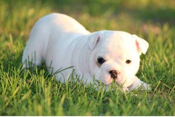Cute White English Bulldog Puppy Photo And Wallpaper Beautiful