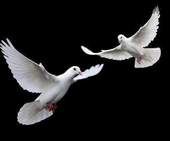 White Doves Pigeons Birds Of Peace Hd Wallpaper Birds 193746 Dove Flying Black And White Birds White Doves