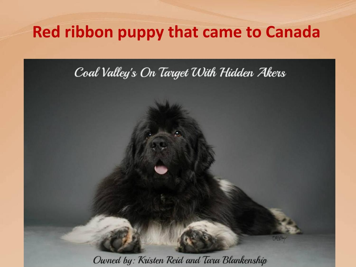 Red Ribbon Puppy That Came To Canada Newfoundland Puppies Beautiful Puppy Puppies
