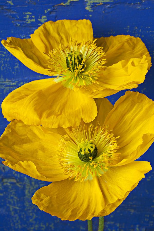 Two Yellow Iceland Poppies Gelbe Blumen Wie Man Blumen Malt