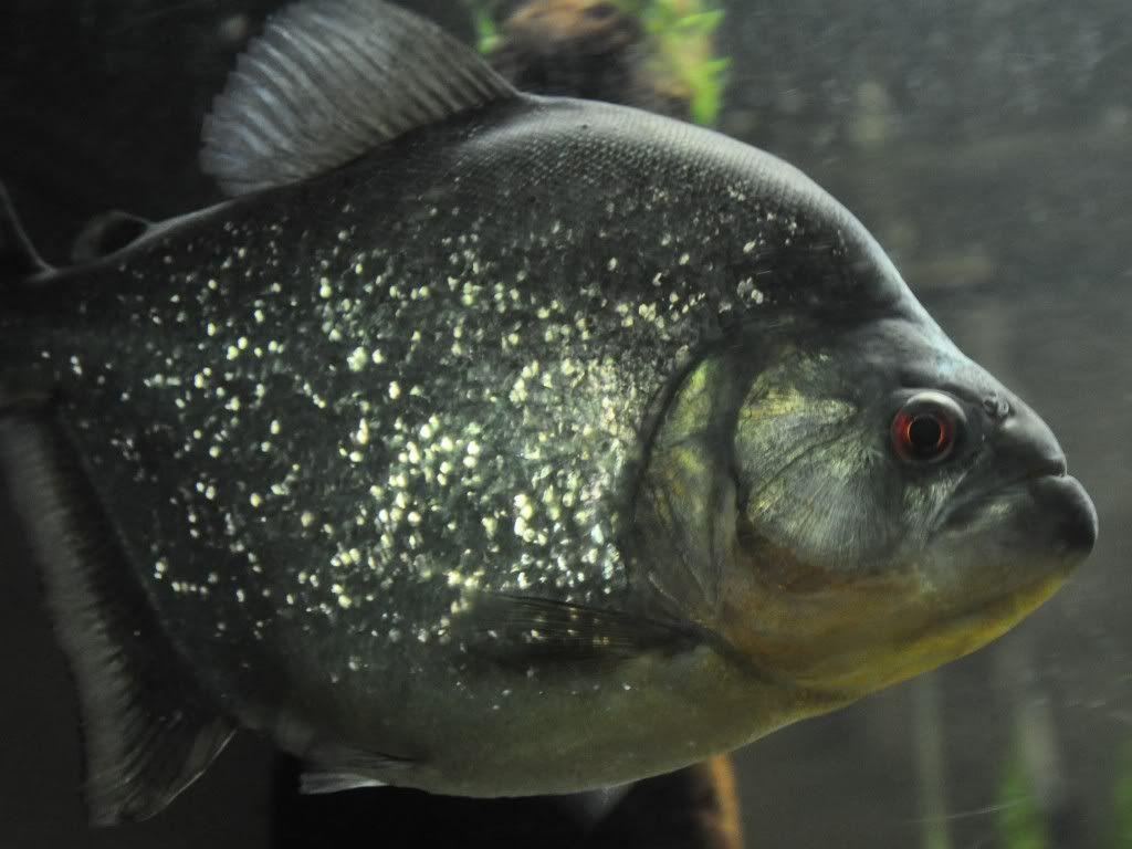 Freshwater aquarium fish piranha - Black Redeye Piranha Saltwater Aquariumaquarium Fishfreshwater
