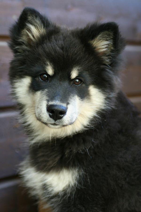 Finnish Lapphund,