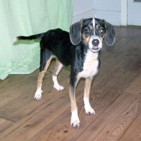 Manny Manchester Terrier Beagle Mix 10 Months Male Find Me On