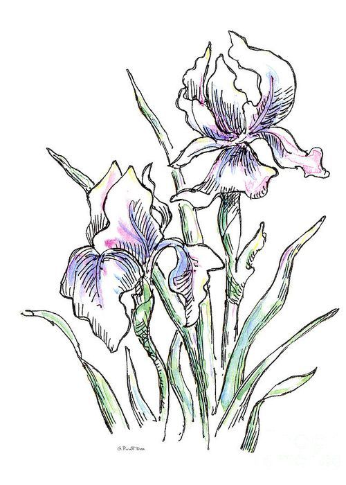 Iris Watercolor Drawing 2 Greeting Card By Gordon Punt Iris Drawing Drawings Outline Drawings