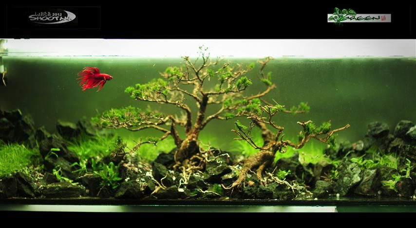 Pretty complicated for a betta tank indonesia aquascape for Large betta fish tank
