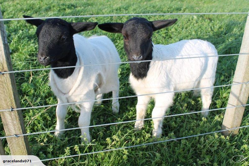 Pedigree Dorper rams, ewes and lambs | Trade Me | Barnyard Animals