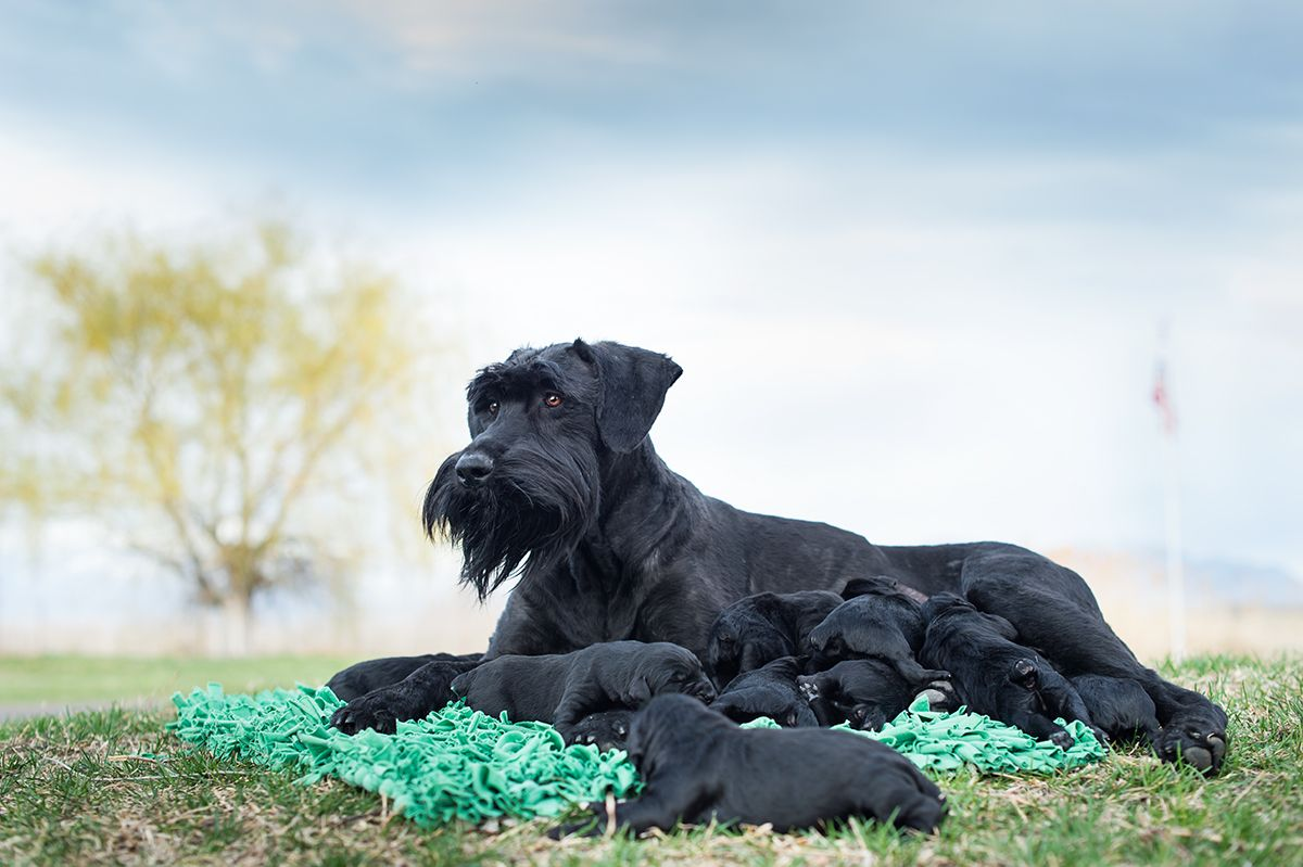 Giant Schnauzers Are A Must Have Breed Intelligent Majestic Great With Kids They Are Hypoallergen Giant Schnauzer Breeders Giant Schnauzer Best Guard Dogs