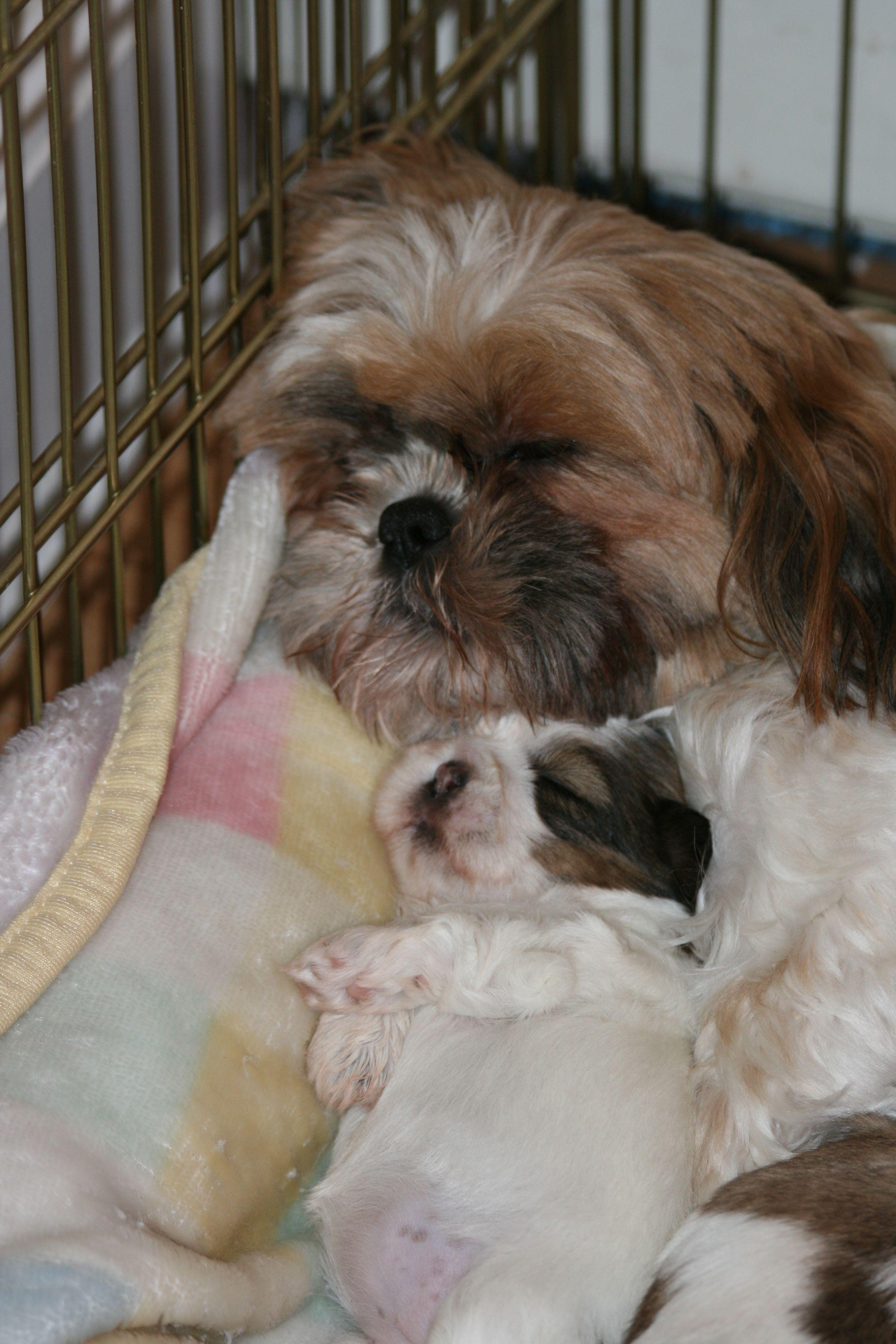 Shihtzu Mama Her Baby Omg How Adorable 3 Shih Tzu Shih