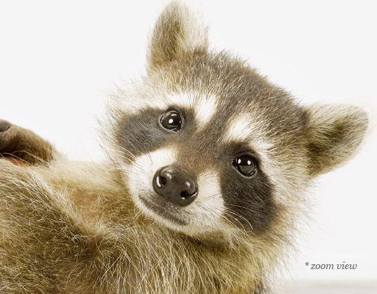 24++ Raccoon thumbs info