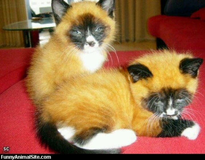 Gatos zorros……….LOVELY COLORED FUR ON THESE LIL BABIES……….ccp