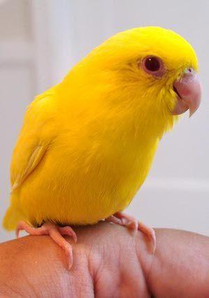 8 Top Yellow Parrots To Keep As Pets Parrot Birds Bird