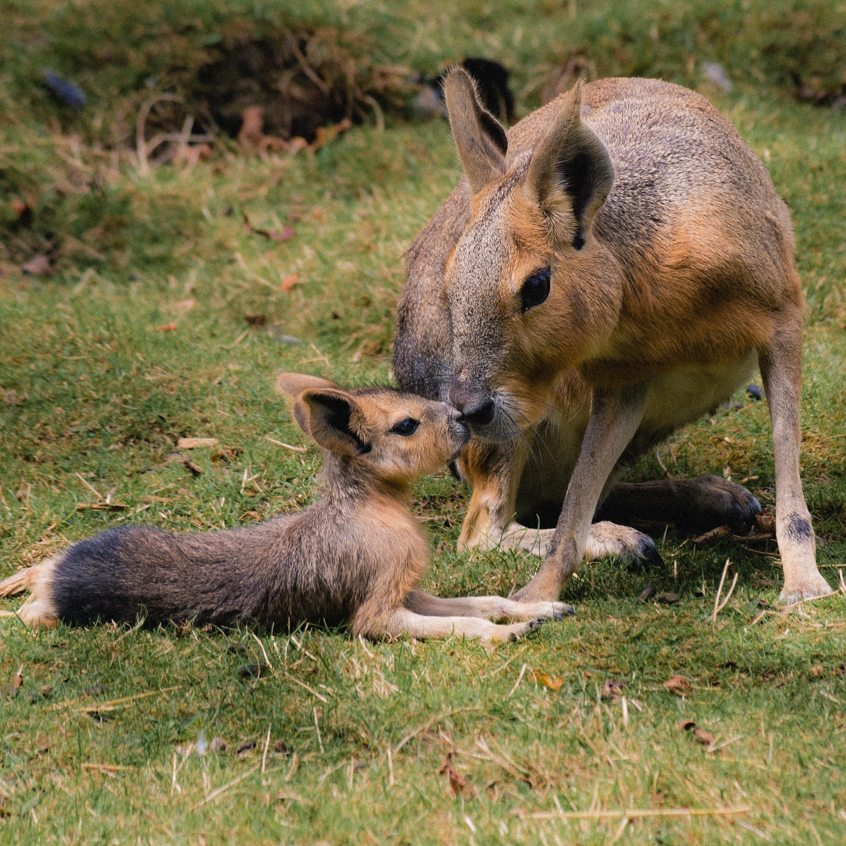 Mara, Patagonian Hare, Patagonian Cavy or Dillaby
