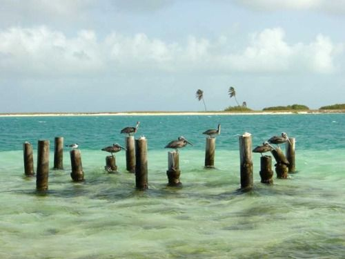 Pelícanos de Los Roques, Venezuela.
