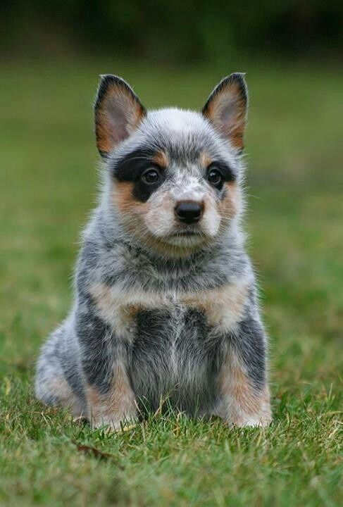 Red Heeler Chunky Wiindrover Puppy Australian Cattle Dogs