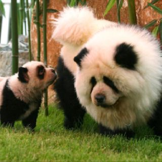 Panda Chow Chows They Dye Their Hair To Look Like Pandas Crazy