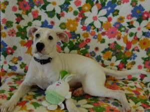 Aspen Deaf is an adoptable Boxer Dog in Richmond, IN