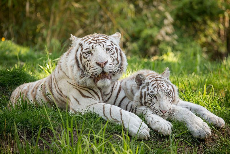 White Tigers BL7R2214 | Flickr - Photo Sharing!