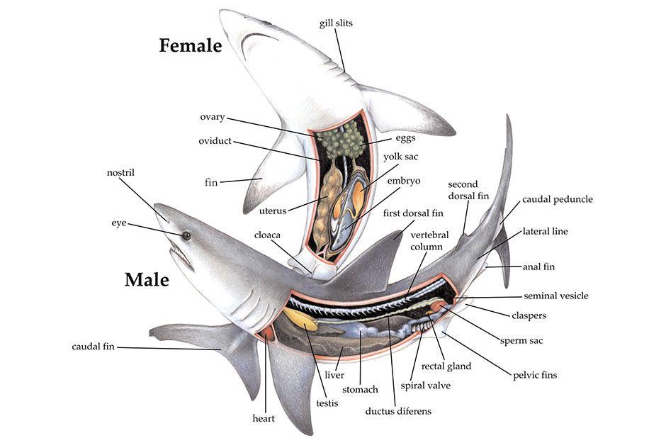 Seaworld En Animal Info Animal Infobooks Sharks And Rays Anatomy