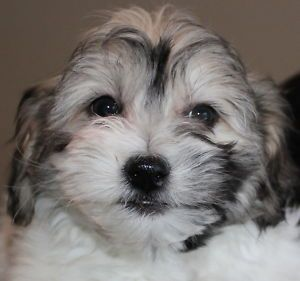 Teddy Bear Shichon Puppies! St. Catharines Dogs