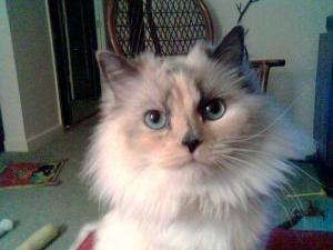 Adopt Tiki On Indoor Cat Ragdoll Cat Pet Finder