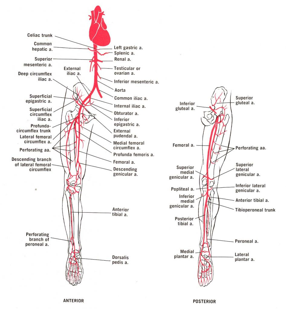 Image result for flow chart of arteries lower limb | PODOLOGIA ...
