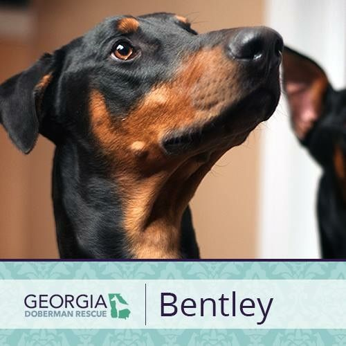 Adoption Pending For More Information On Bentley Please Check Out