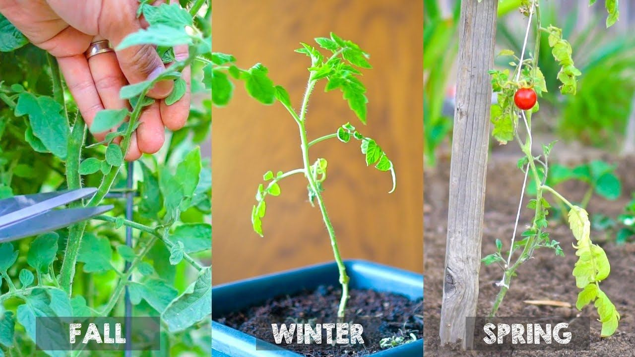 Overwinter Tomato Plants And Grow Tomatoes Year After Year Without Seed Youtube With Images Plants Growing Tomatoes Tomato Plants