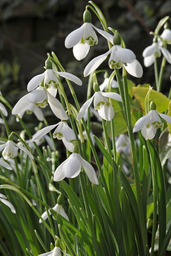 How To Grow Snowdrops Winter Plants Spring Bulbs Garden Shrubs