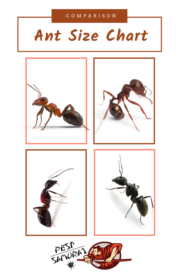 Ant Size Chart And Comparison Information And Facts In 2020 Different Types Of Ants Ants Types Of Ants