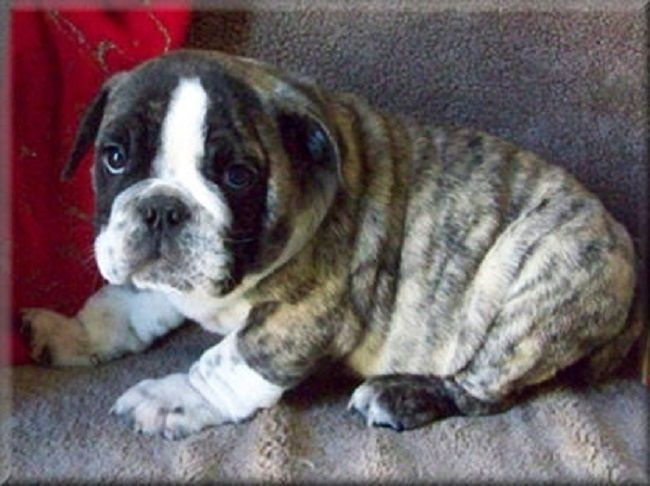English Bulldog Puppies For Sale In Louisiana Zoe Fans Blog