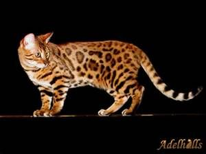 Bengal Cat - Bing images